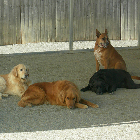 Four dogs hanging out in the shade