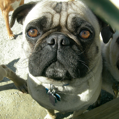Pug outside looking into camera